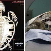 Modena, una Tac speciale: le tartarughe marine ai raggi x