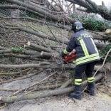 Vento sradica un albero  sui Colli: strada bloccata
