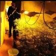 Serra di marijuana   video   da un milione di euro  nella villetta in campagna