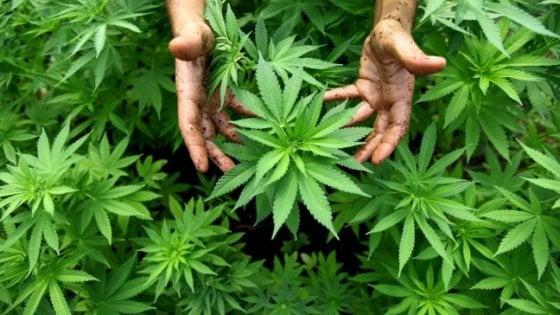 Si fuma ma non sballa: la marijuana legale ora è in commercio
