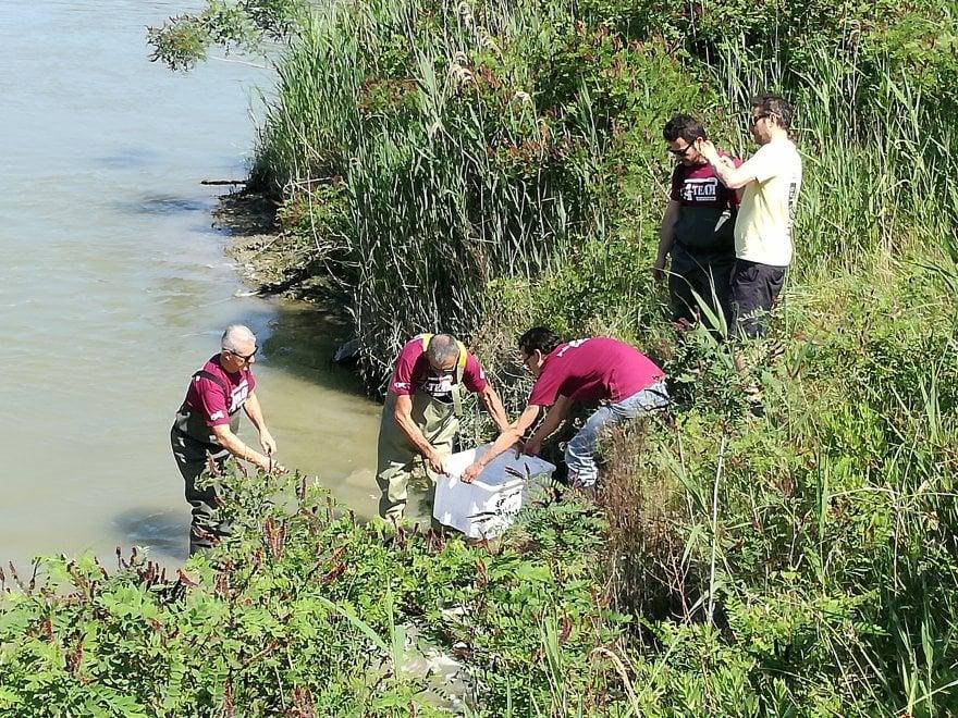 Dai parchi acquatici al delta del Po: lo storione torna a popolare i corsi d'acqua romagnoli