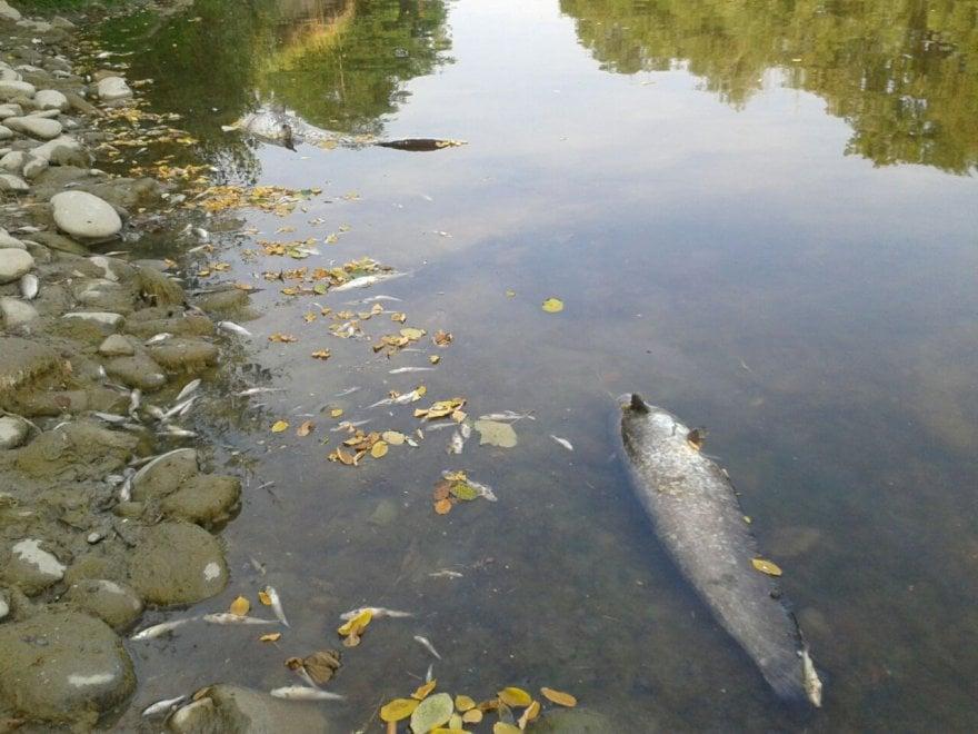 Bologna, i pesci dei fiumi muoiono per la siccità