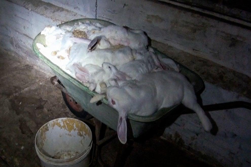 Chiude allevamento intensivo di conigli di Forlì: esultano gli animalisti