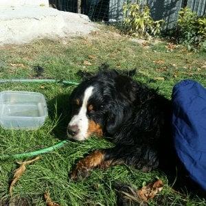 Storia di Ruby, cane fuggiasco per 4 mesi in branco coi cinghiali