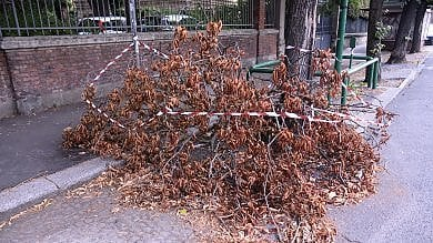 Le prime vittime del clima impazzito: a Bologna strage di alberi