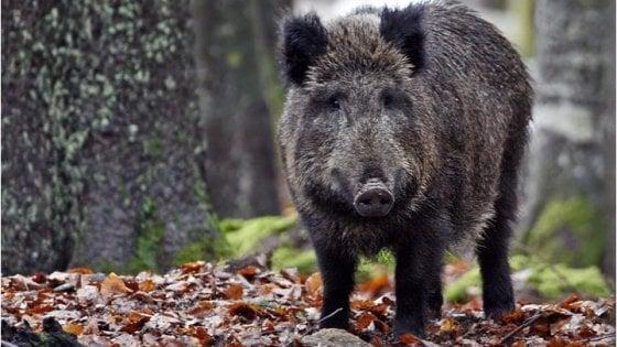 Bologna, cercansi cacciatori volontari per ridurre il numero dei cinghiali