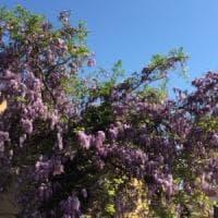 A caccia dei glicini di Bologna: prosegue la mappatura delle piante in città