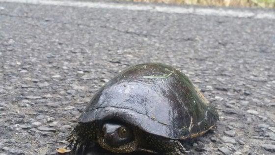 Modena, rara tartaruga salvata dai vigili urbani