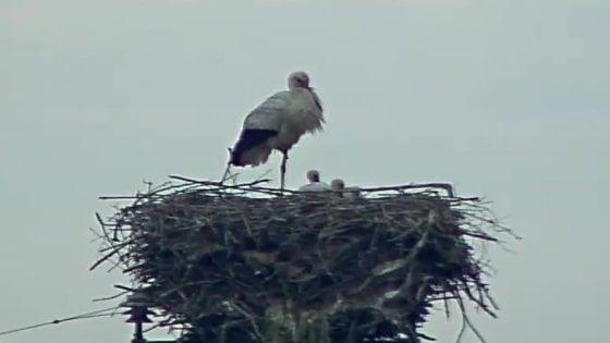 """Le cicogne fedeli di Crevalcore: quindici anni di nidi, almeno 50 figli. """"Non migrano perché qui stanno bene"""""""