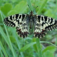 Nelle colline bolognesi a caccia dei colori di Cassandra, una farfalla rara e da proteggere