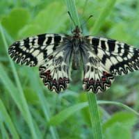 Sulle colline della Valsamoggia alla ricerca di Cassandra, farfalla ormai