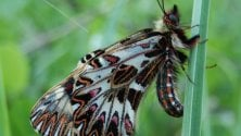 Alla ricerca di Cassandra farfalla ormai rara e da proteggere   Foto