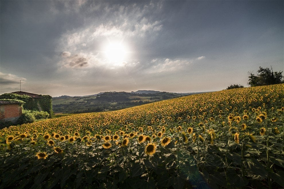 Distese di oro nei campi: i girasoli cartolina d'estate in Valsamoggia