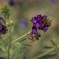 La ricerca italiana: bastano poche gocce di miele per fare il censimento degli insetti di...