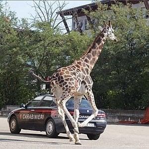 Assolti i titolari del circo per la morte giraffa che fuggì nel traffico