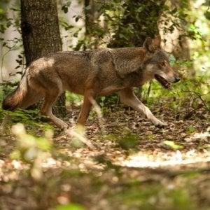 Rimini, scambiano i carabinieri per lupi e sparano