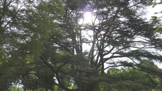 Vecchi, saggi, verdi e preziosi: 106 gli alberi monumentali in Emilia-Romagna