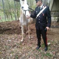 Niente manette per il fuggitivo, solo briglie: Bologna, cavallo catturato dai carabinieri