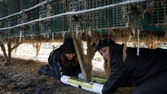 Modena, dopo 60 anni l'allevamento di visoni chiude per crisi: esultano gli animalisti