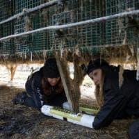 Modena, dopo 60 anni l'allevamento di visoni chiude per crisi: esultano