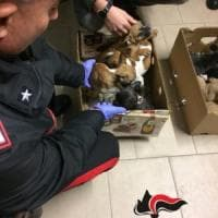 """Traffico di cuccioli: operazione """"Crudelia"""" a Reggio Emilia"""