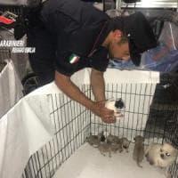 Reggio Emilia, stroncato traffico illecito di cuccioli di chihuahua