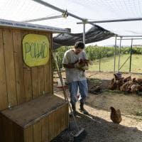 Bologna: nasce il Pollaio sociale dove lavorano i disabili. E le galline vengono adottate