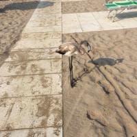"""Fenicotteri sulla spiaggia di Rimini, l'appello: """"Non disturbateli"""""""