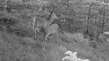 Che dolcezza  video   mamma cervo  allatta il suo piccolo