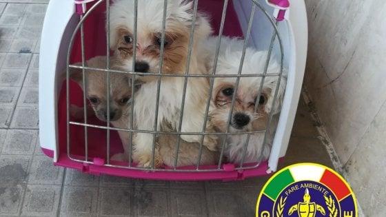 Il cucciolo è bellissimo e quasi gratis: da Rimini allarme per le truffe online legate a cani e gatti