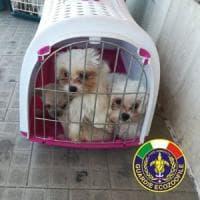 Il cucciolo è bellissimo e quasi gratis: da Rimini allarme per le truffe online legate a...