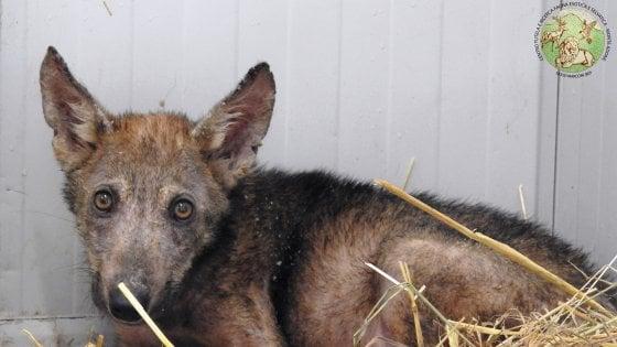 Geronimo, il cucciolo di lupo tornato libero è rimasto vittima di bracconaggio