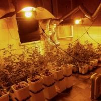 Bologna, in un vecchio fienile un laboratorio con 50 piante di cannabis