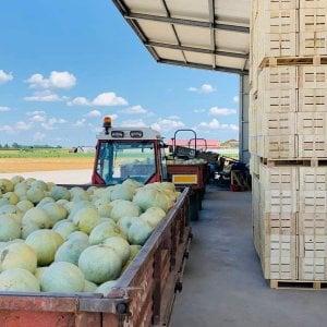 Dalla Bassa modenese a Manhattan: quei meloni da 45 euro al chilo