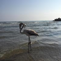Sorpresa per i bagnanti: un fenicottero sulla spiaggia di Riccione