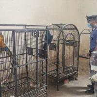 Bologna, decine di pappagalli in pessime condizioni: denunciato allevatore
