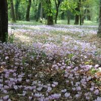 Nella valle dei ciclamini: gocce di rosa in Valsamoggia