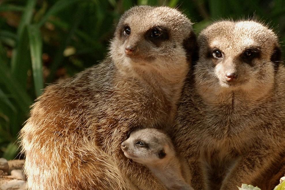 A pistoia nati piccoli timon il celebre suricato della