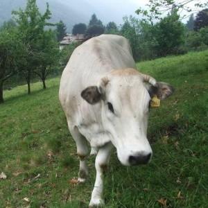Vinci, mucca ribelle scappa dall'allevamento. E il web si mobilita per salvarla
