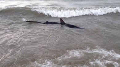 Paura per lo squalo  a Castiglione della Pescaia /   FOTO