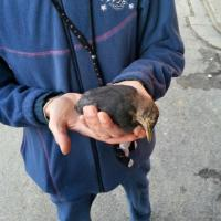 Tramvia, giù gli alberi in viale Morgagni: un merlo trovato morto durante i lavori