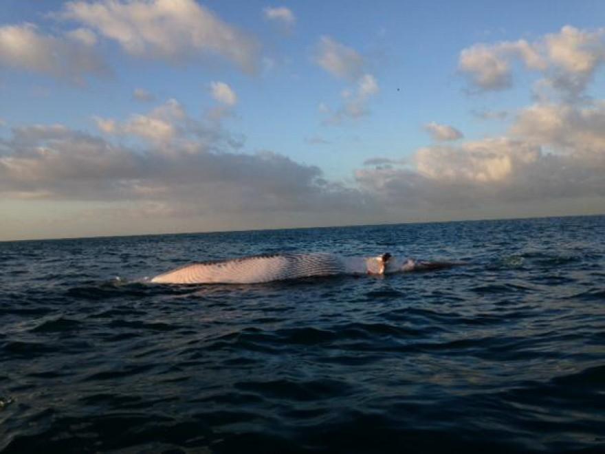Livorno: carcassa di balena in mare, trasportata dalle correnti