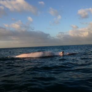 Balena spiaggiata in Versilia, nel 2014 morti 19 cetacei sulle coste toscane