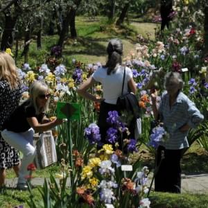 Riapre il Giardino dell'Iris, torna a fiorire il giaggiolo