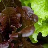 La lattuga rossa ci mantiene giovani: è più veloce con gli antiossidanti