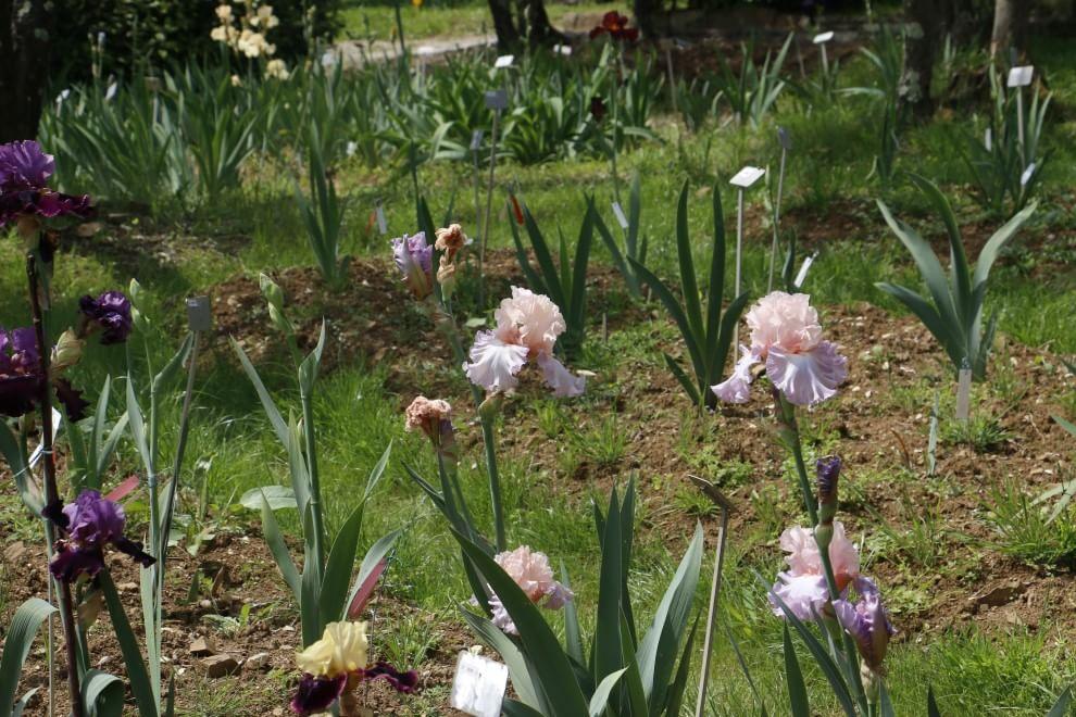 Viola, gialli, rosa: i tappeti di colori del Giardino dell'Iris