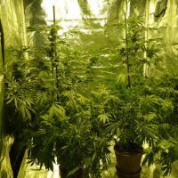 Viaggio dove si produce la cannabis di Stato