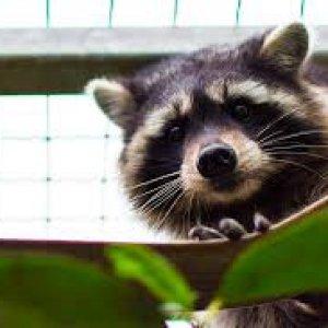 """""""Troppi procioni, vanno catturati"""". L'allarme nelle foreste del Casentino"""