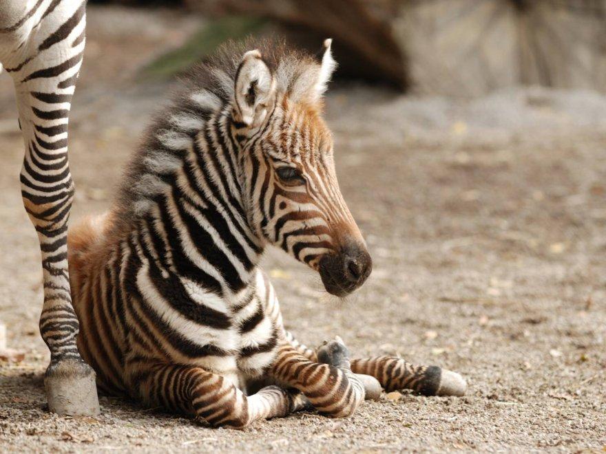 Pistoia, è nata una zebra: e il nome lo scelgono i visitatori