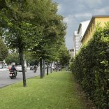 Firenze, saranno abbattuti  22 tigli nel viale Lavagnini